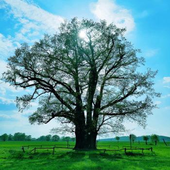 The Tree (Hainspitz); Andre Deutscher