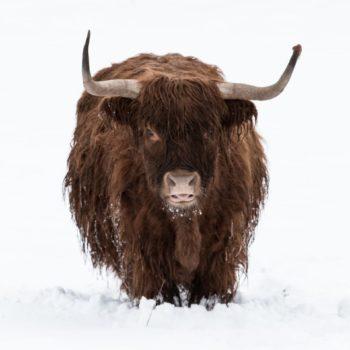 Schottisch Highlandrind im thüringischen Winter (Gneus); Ronny Zipfel