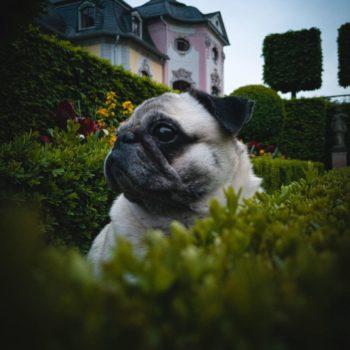 Hund im Dornburger Schlossgarten; Robert Schenke